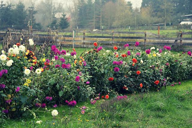Dahlias Garden Oregon