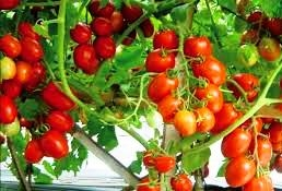The Benefits of Tomato Fruit As A Traditional Kitchen Pharmacy