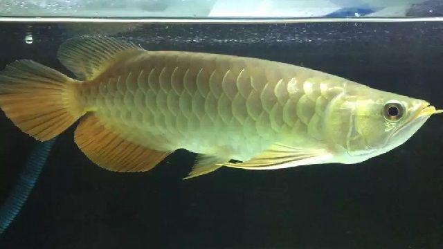 Gambar Ikan Arwana Golden Red
