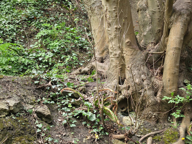 The foot of a branched sycamore trunk growing from a dry, earthy bank.