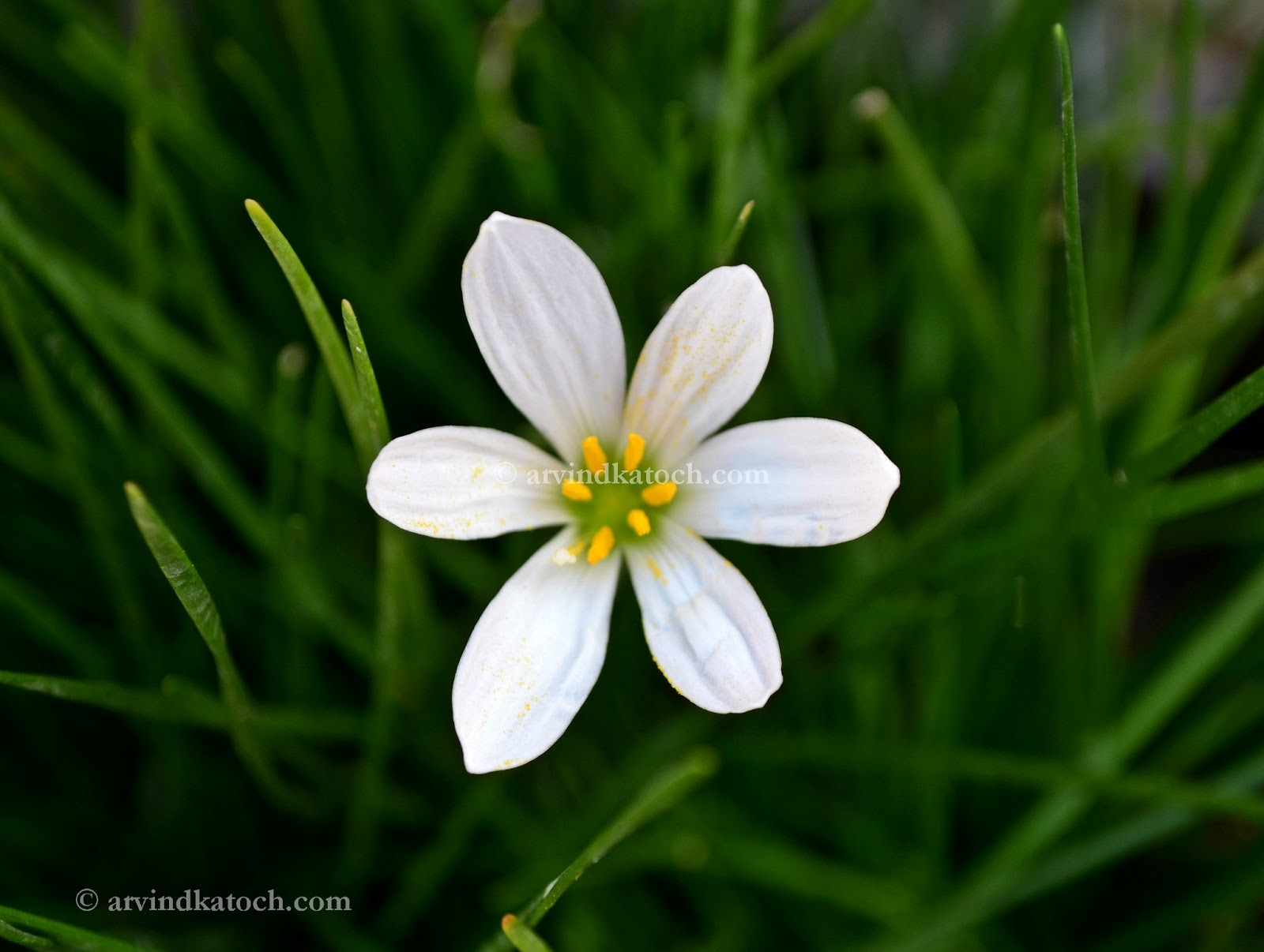 Arvind katoch photography hd pic of beautiful white grass flower white grass flowers flower grass mightylinksfo