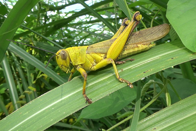 Dlium Javanese grasshopper (Valanga nigricornis)