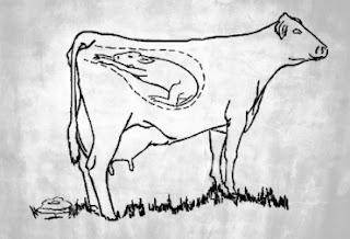 Vaca no puede parir