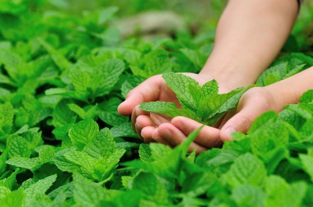 7 Bimë/Zbythës natyral të Mushkonjave për të qëndruar larg Kimikateve të rrezikshme