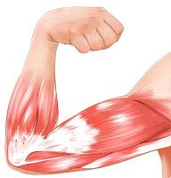 Muscle (otot)