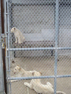White Lion Brothers.
