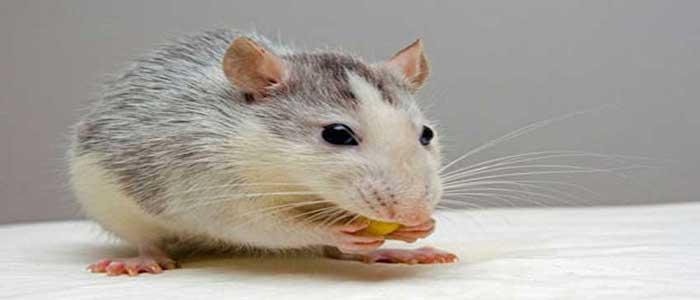 Tikus Juga Diklaim Sebagai Pembawa Penyakit