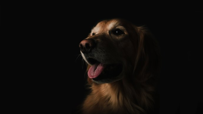 Wallpaper: Dog Portrait