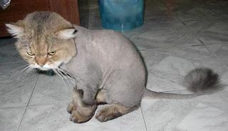 Kucing sedang marah banget