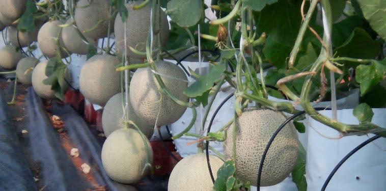 Cara Menanam Melon Yang Baik Dan Menghasilkan Buah Yang Lebat