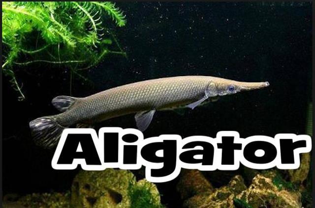 Jenis Ikan hias Predator Air Tawar Yang Unik