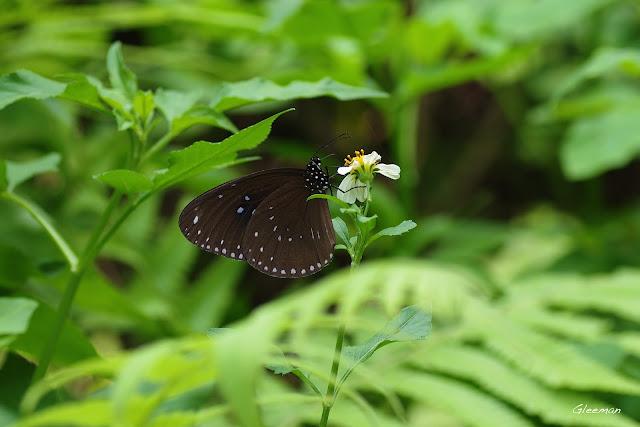 雞南山散步,斯式紫斑蝶