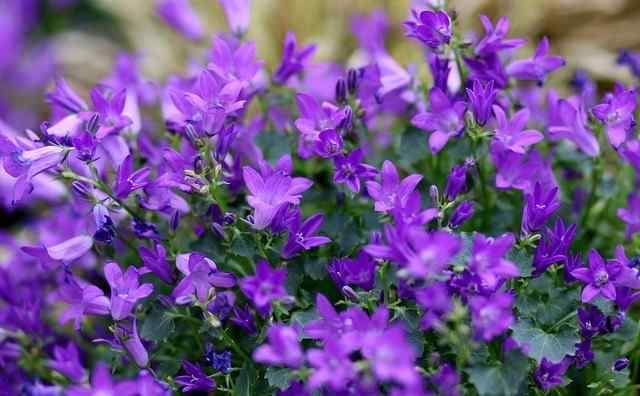 Cara menanam dan merawat bunga lobelia
