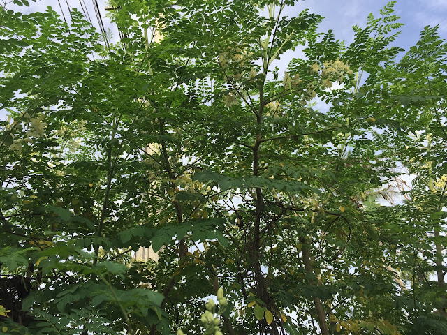 Drumstick tree, (Moringa Oleifera) ,and, its, benefits ,for, health,moringa,  moringa tree,    moringa oleifera,    moringa seeds,    moringa plant,    moringa benefits,    moringa powder,   moringa tea,    moringa oil,   moringa side effects,   moringa leaves,   moringa oleifera seeds,    moringa leaf powder,    moringa tree benefits ,   moringa health benefits,