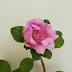 Rosa de Bayahibe, nuestra Flor Nacional
