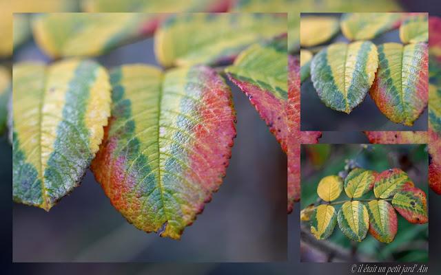 feuillage rosa rugosa automne