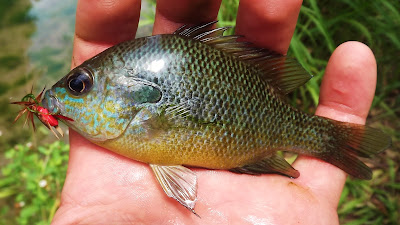 Pat Kellner, Texas Freshwater Fly Fishing, Texas Fly Fishing, Fly Fishing Texas, TFFF, Bluegill, Sunfish, Bluegill on the fly, Sunfish on the fly