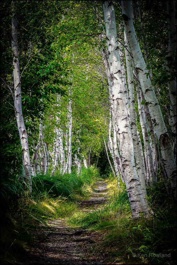 path in the birch - photo #7