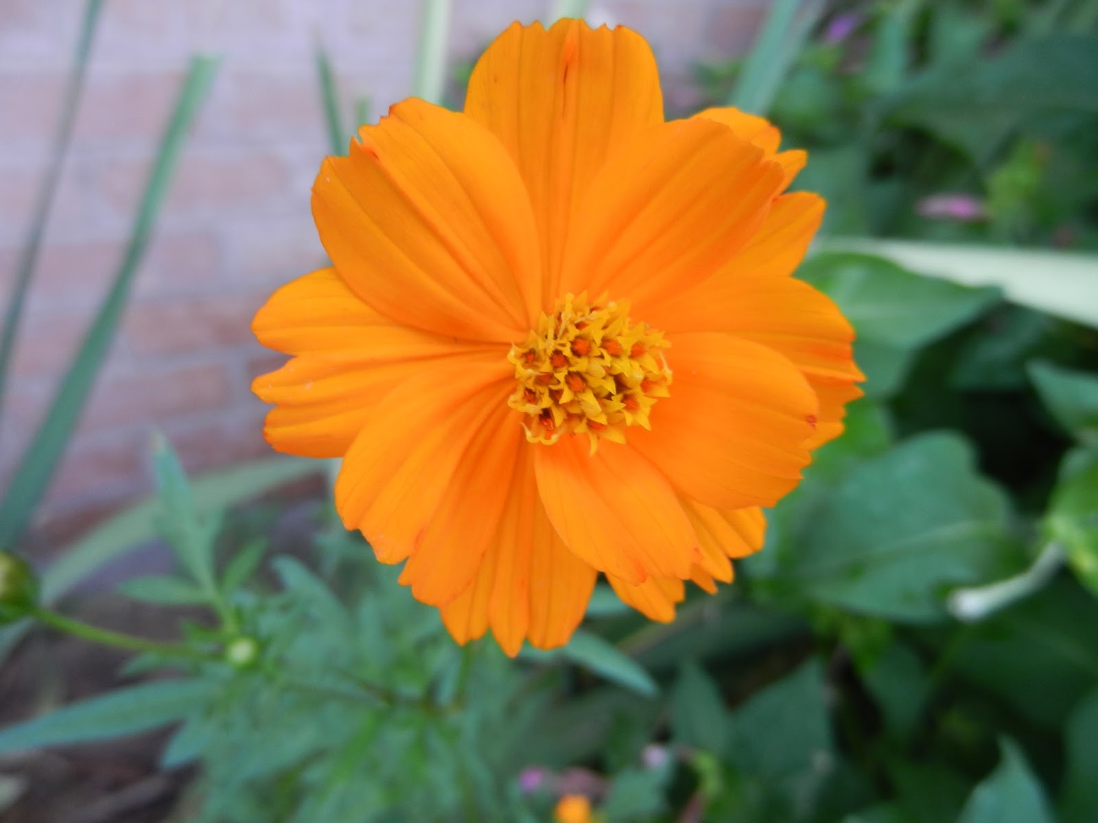 orange cosmos pic