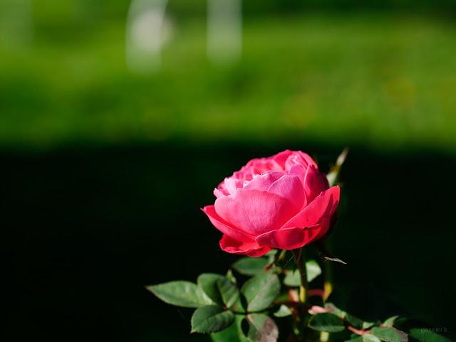 Rosa rossa su sfondo verde scuro