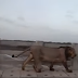 Leão é avistado passeando em ponte
