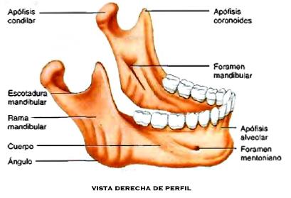 Cráneo mandíbula hueso vómer