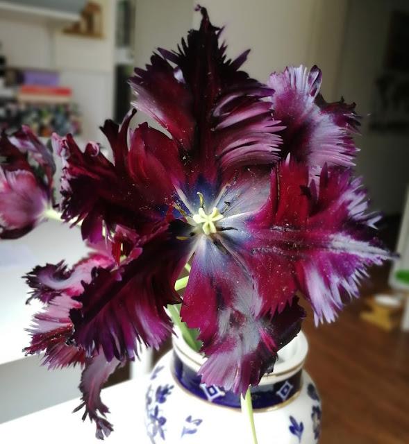 Black Parrot tulip, flower, botanical, nature