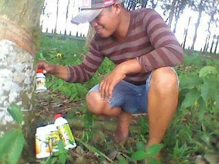 agen nasa lampung tanaman karet