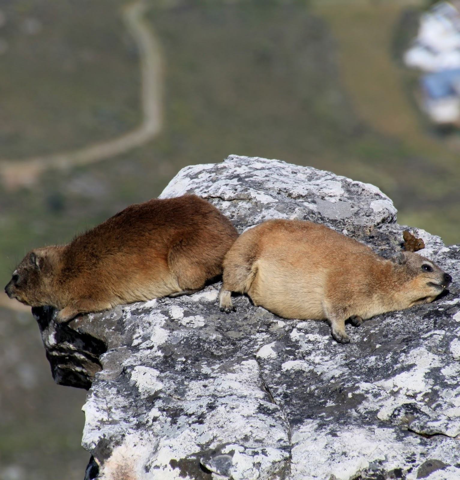 Picture of two hyrax sleeping.