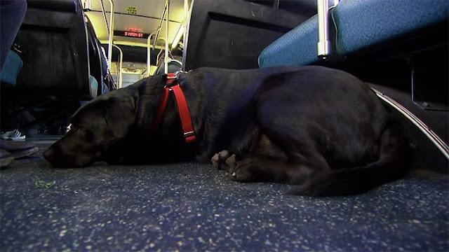 Eclipse, la perrita que toma sola el bus para ir al parque