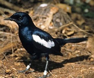 cara merawat burung, mabung, macet bunyi, mbagong, solusi,