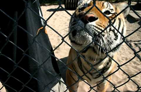 Single Vision animal sanctuary - Tiger