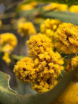 [Fabaceae] Acacia saligna - macro.