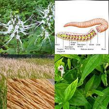 Image Obat Penyakit Sifilis Herbal