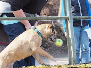 1. Border Terrier in der Schweiz