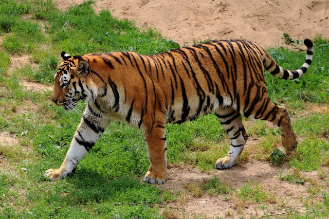 Angry Siberian Tiger Walking Through The Field Wildlife Animals