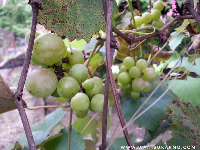 pengalaman melihat buah anggur kali pertama di pokok