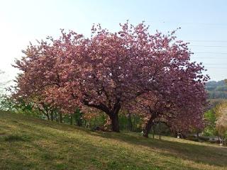 サトザクラと満開花壇