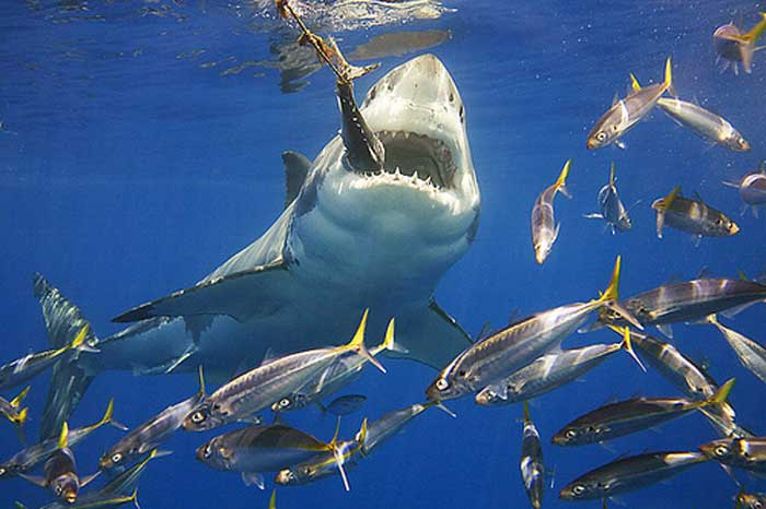 shark can detect fish heartbeat