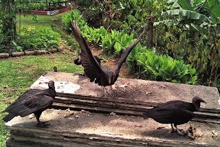 costa rica black vulture