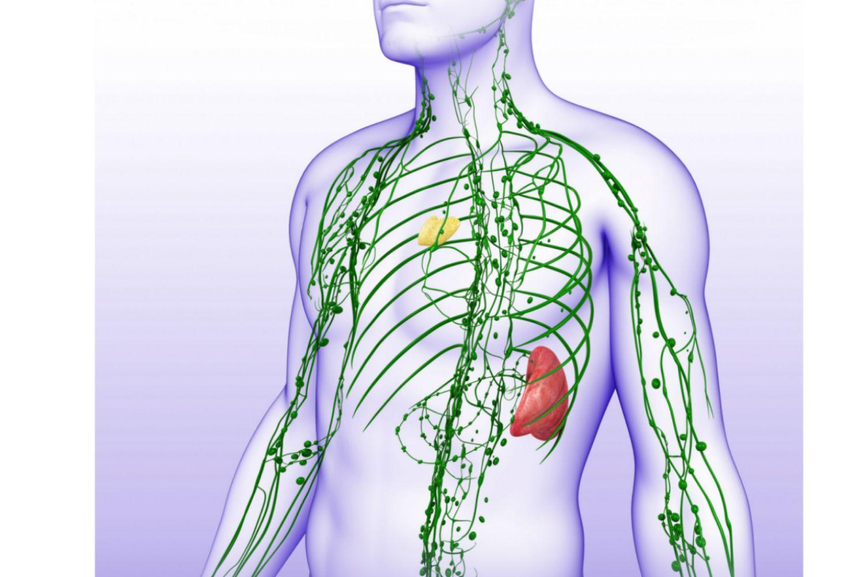 Резултат с изображение за лимфна система