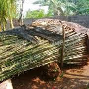jual tanaman bambu jepang