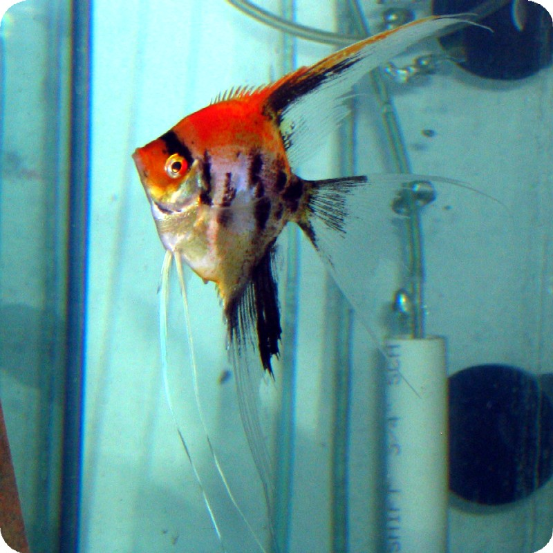 Angelfish (Pterophyllum Leopoldi