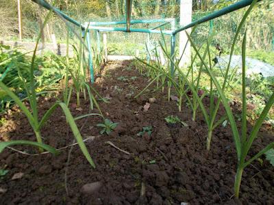Garlic 80 Minute Allotment Green Fingered Blog