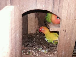 Ciri-Ciri Lovebird Menetaskan Telurnya