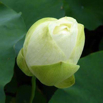 花博記念公園鶴見緑地のハスの花 つぼみ