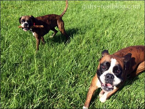 Boxer - Amy und ihr Bruder Baxter