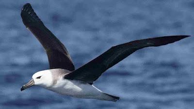 gambar burung albatros terbang di atas lautan