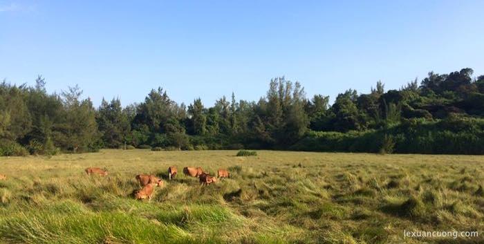 Những chú bò trên đảo Cô Tô