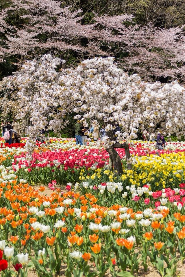 Share Experience Tour to Japan Tulips Flower Park